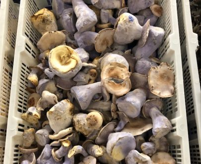 Blue foot mushroom for sale